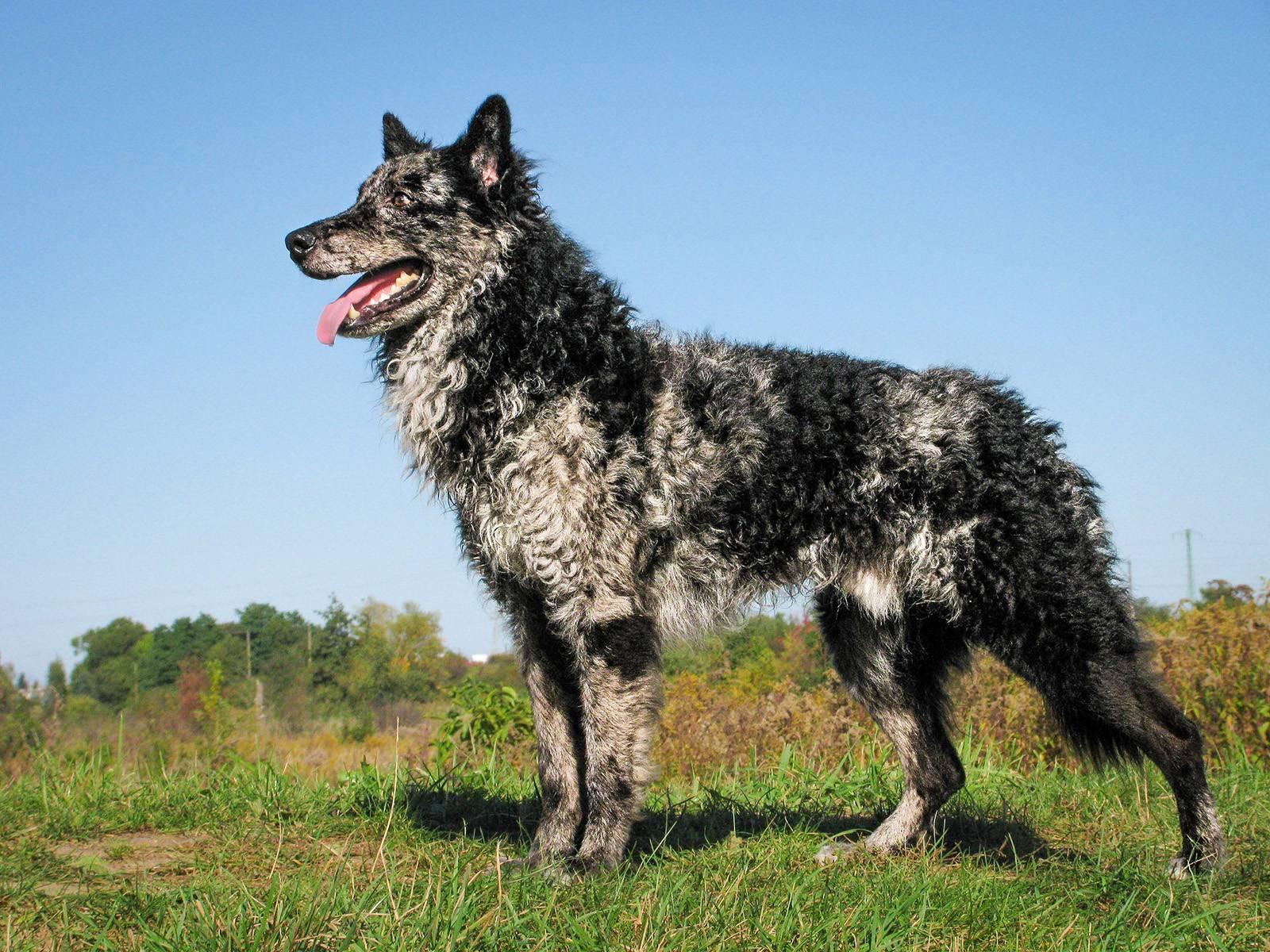 Пастушья собака — перечень пород, используемых для охраны отары