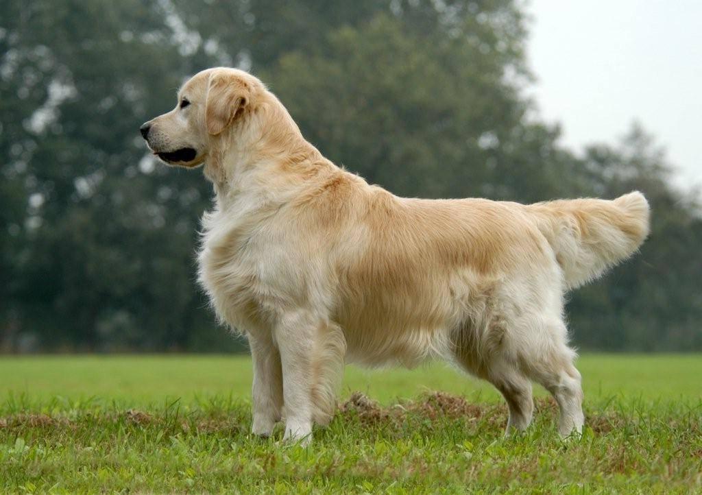 Золотистый (голден) ретривер: описание и характер собаки, фото, уход