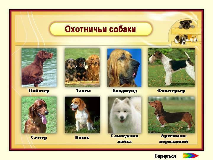 Служебные собаки (43 фото): названия военных пород, дрессировка «ищеек» кинологами для разыскной службы, содержание и кормление