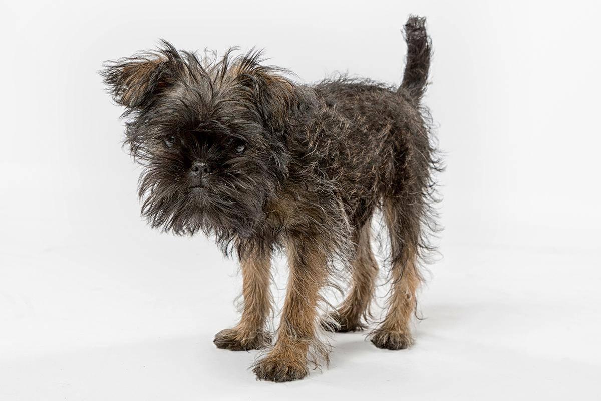 Аффенпинчер собака. описание, особенности, уход и цена аффенпинчера | sobakagav.ru