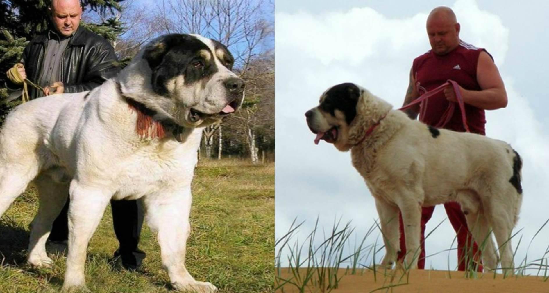 Алабай: все о породе собак среднеазиатской овчарки от а до я