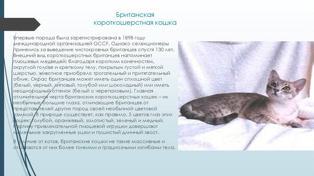 Невская маскарадная кошка: все о кошке, фото, описание породы, характер, цена