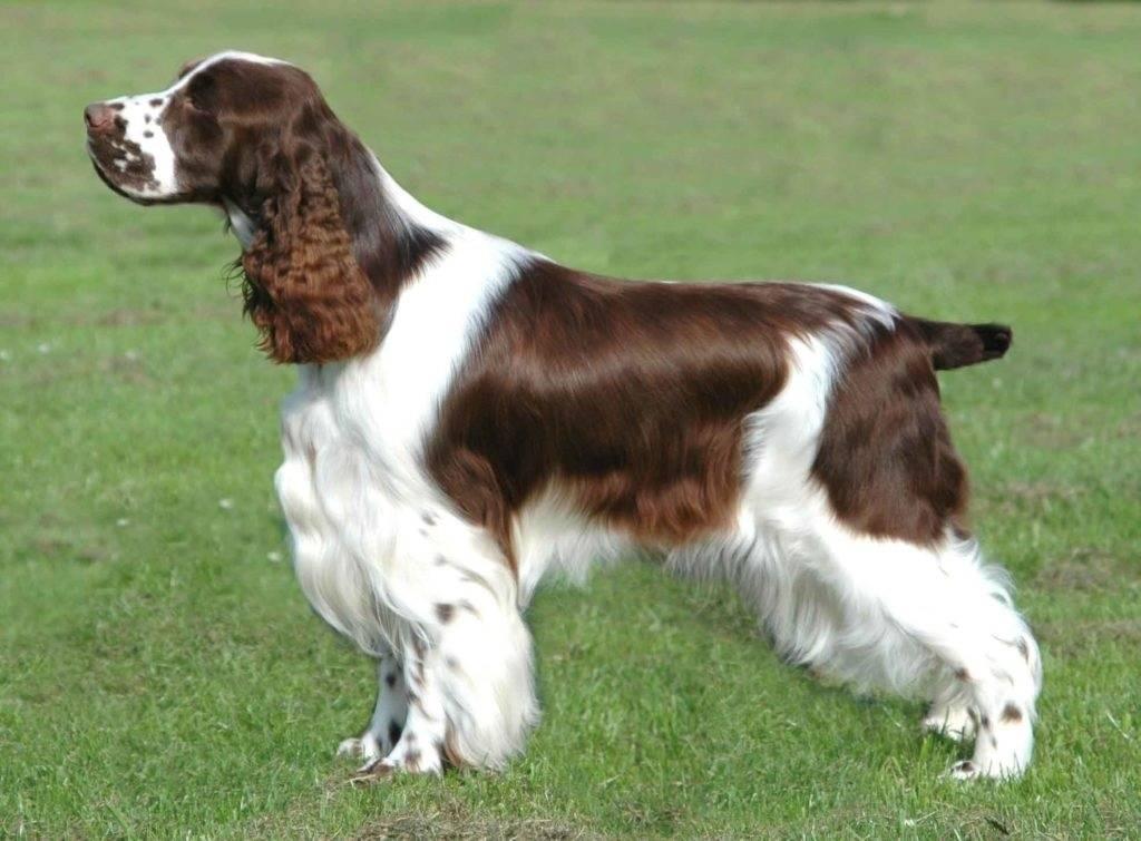 Английские породы собак (британский пес)