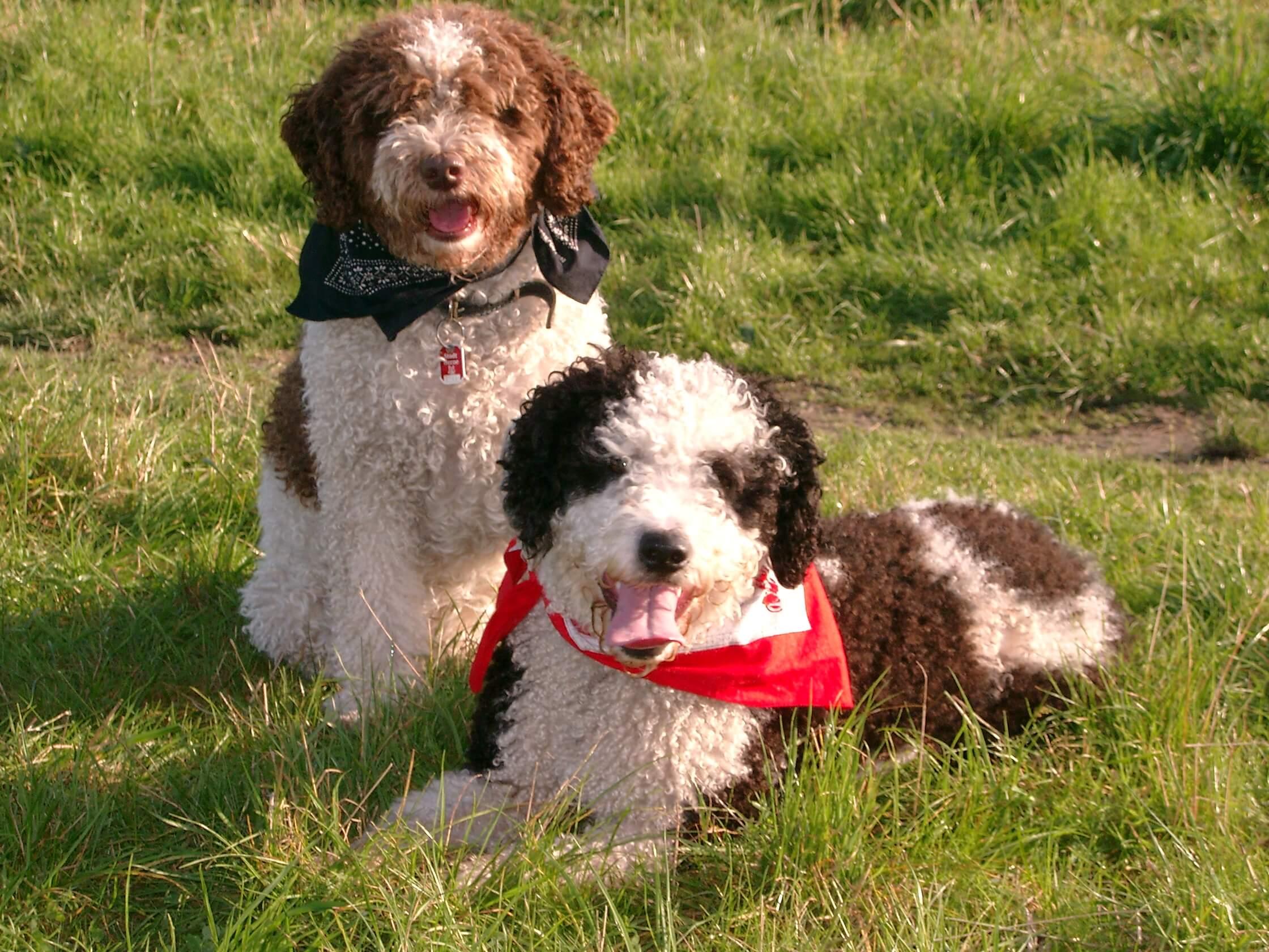 Испанская водяная собака — фото, цена | dog-care - журнал про собак