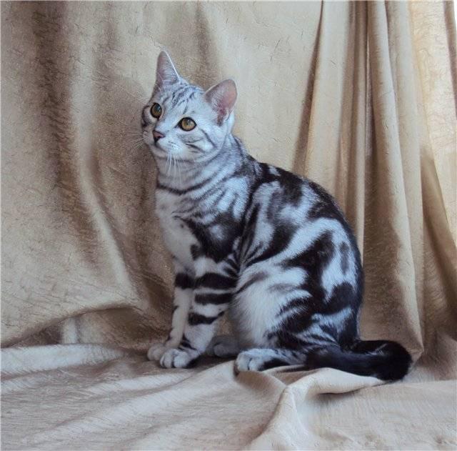 Мраморная кошка: жизнь в природе и в неволе