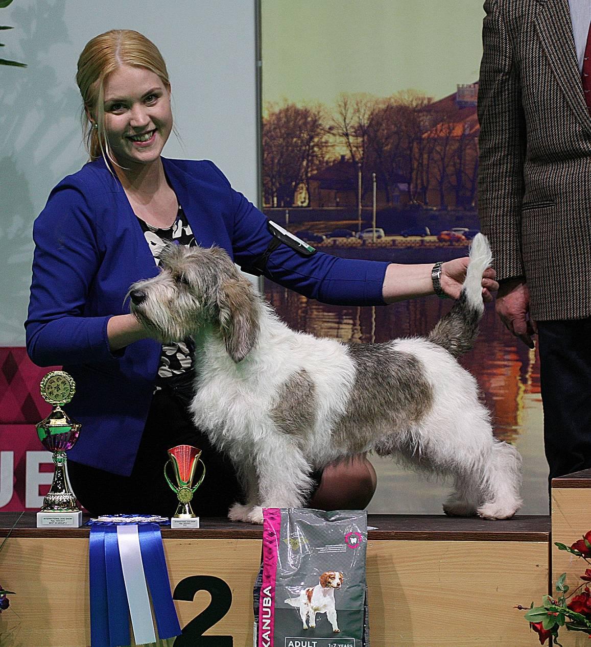Вандейский бассет-гриффон — описание породы собак