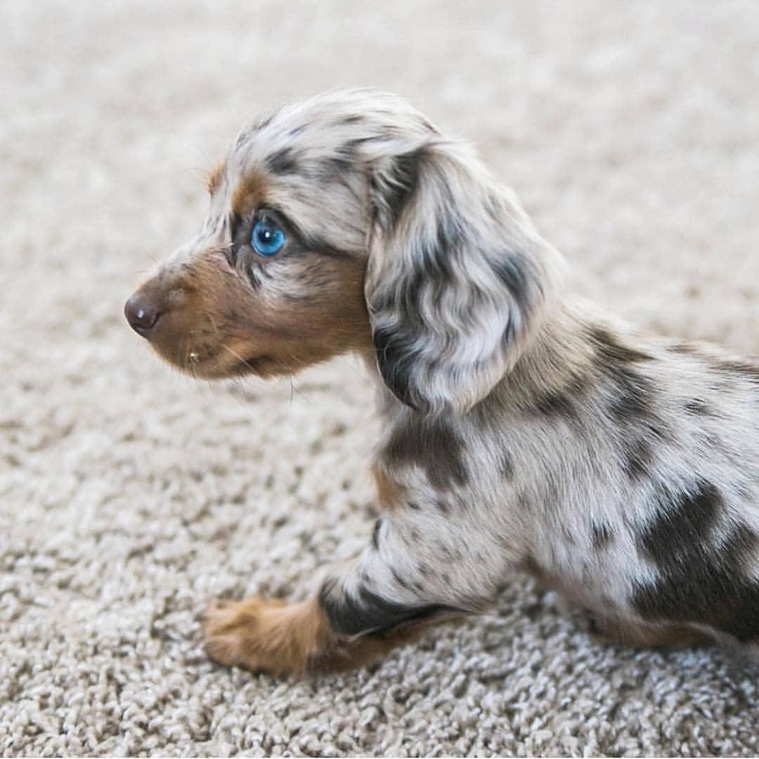 Как выглядит такса: стандарт породы и детальное описание всех видов собак