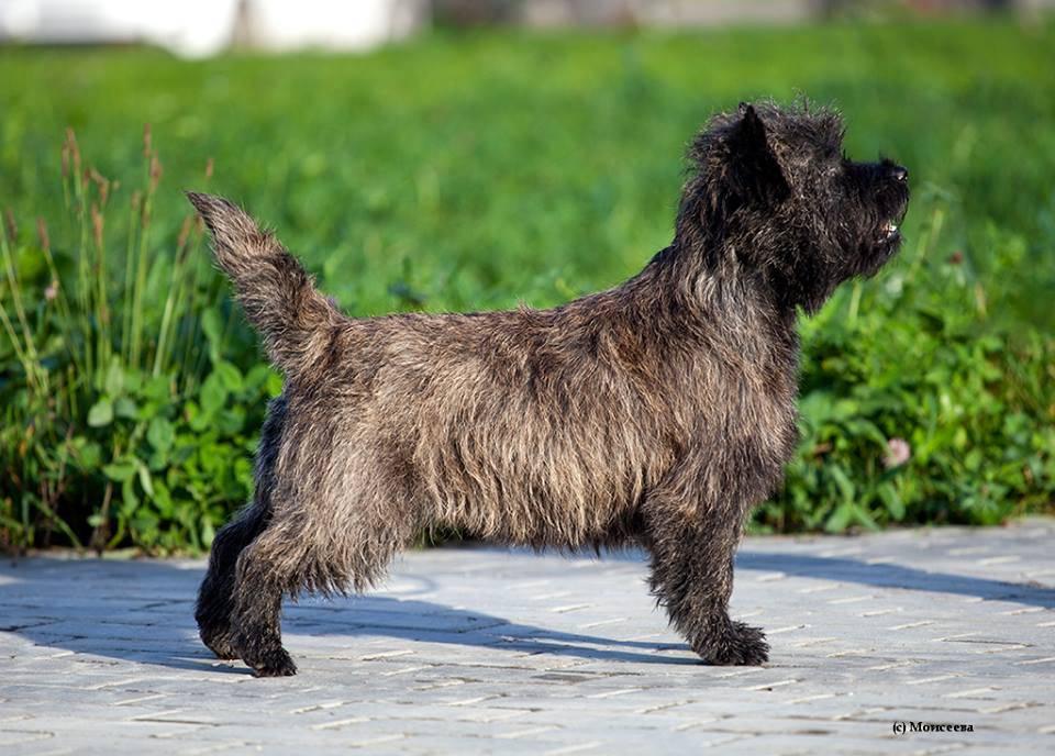 Порода собак керн-терьер и ее характеристики с фото