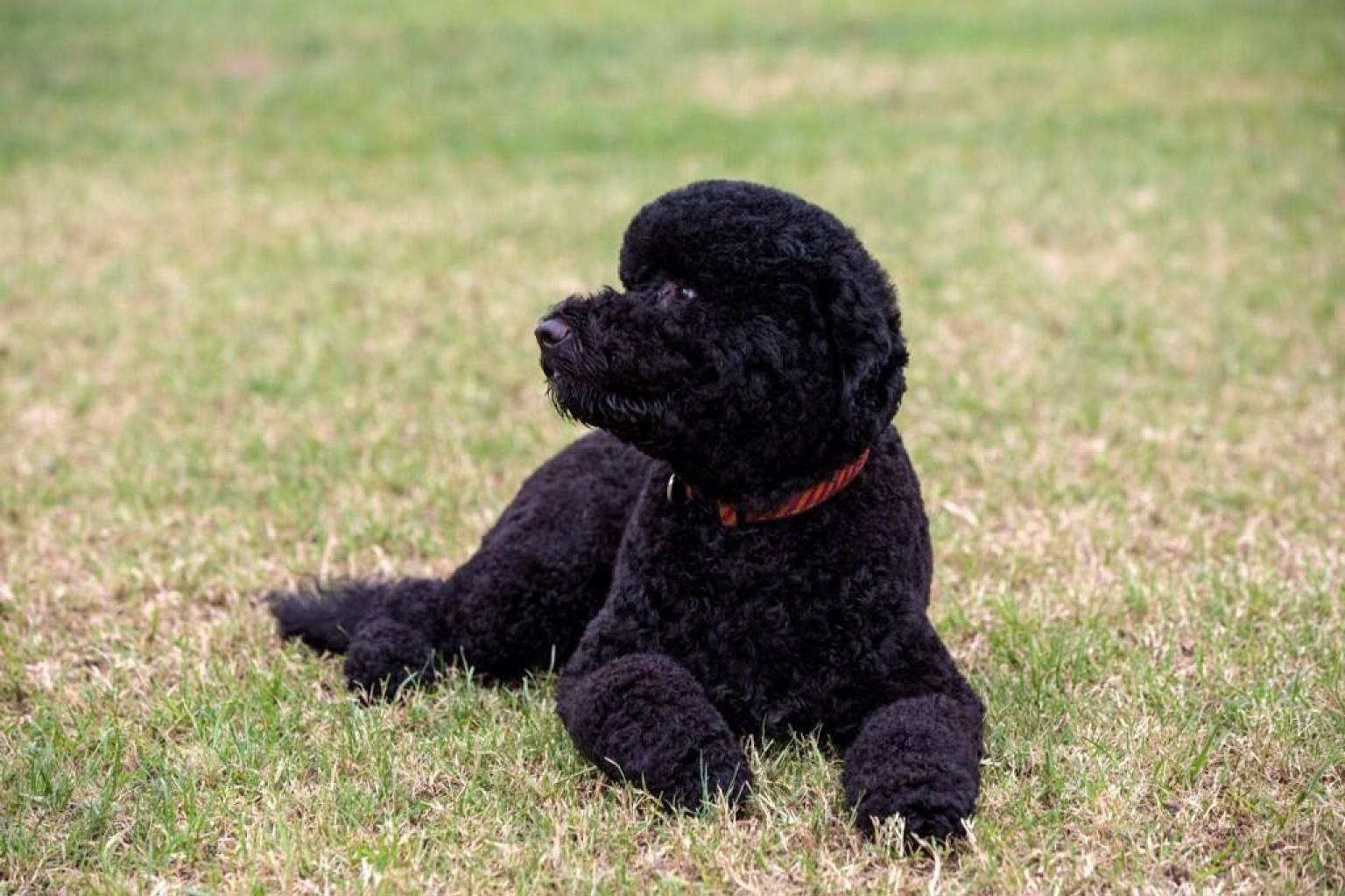 Португальская водяная собака: особенности породы и уход за собаками