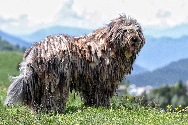 Породы пастушьих собак: французские и английские овчарки