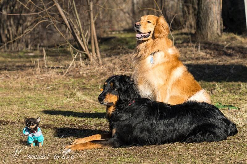 Описание породы собак ховаварт с отзывами владельцев и фото