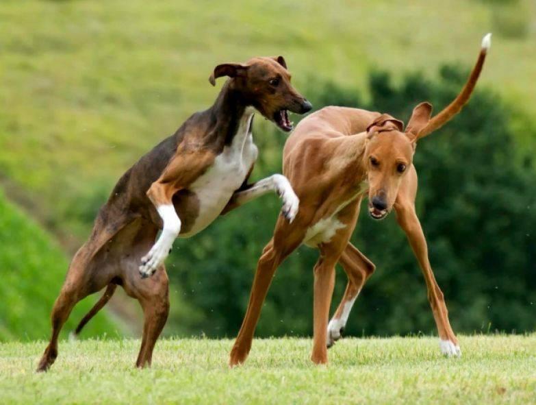 Порода собак азавак - африканская борзая охотничья гончая