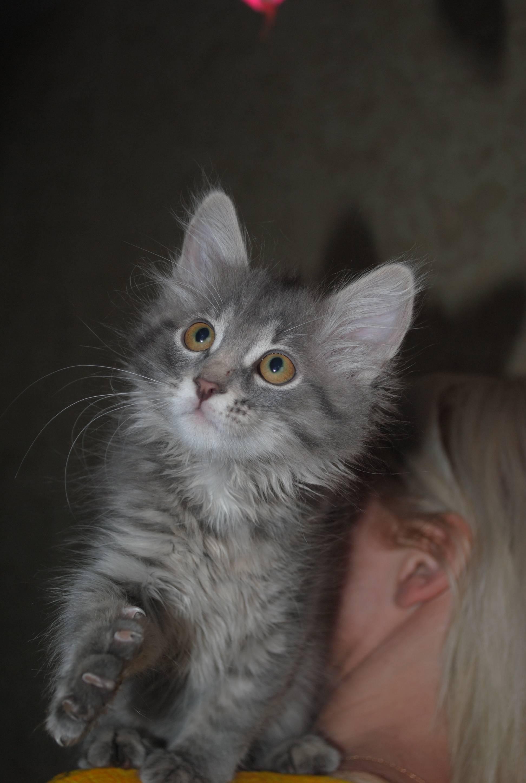 Красивый белый мейн кун для любителей кошек этой породы