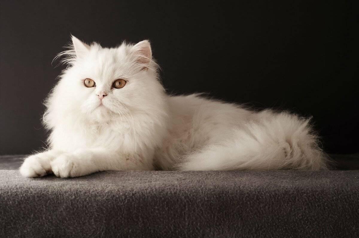 Персидская кошка: фото, описание породы, характер, видео, цена