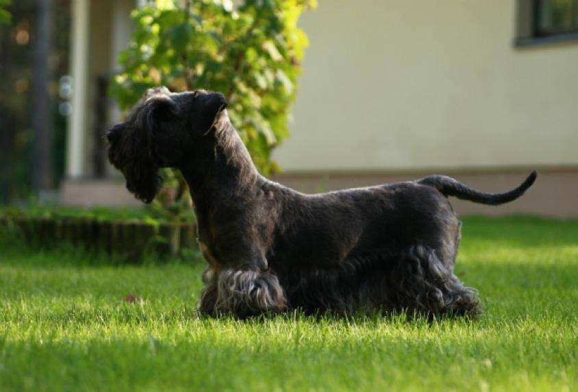 Чешский терьер: описание породы, характер, стандарт :: syl.ru