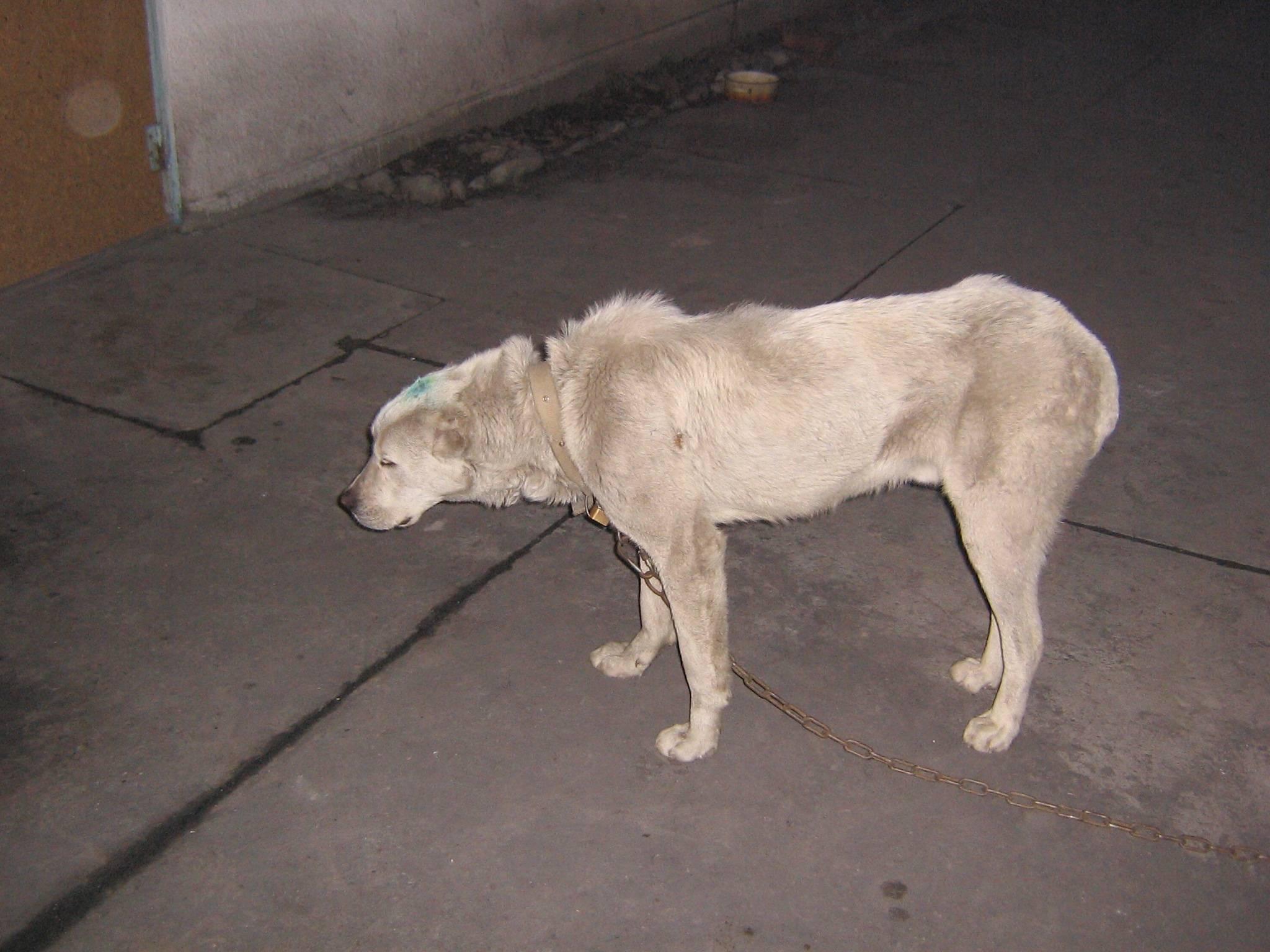 Чумка у собак: симптомы и признаки заболевания, лечение и профилактика