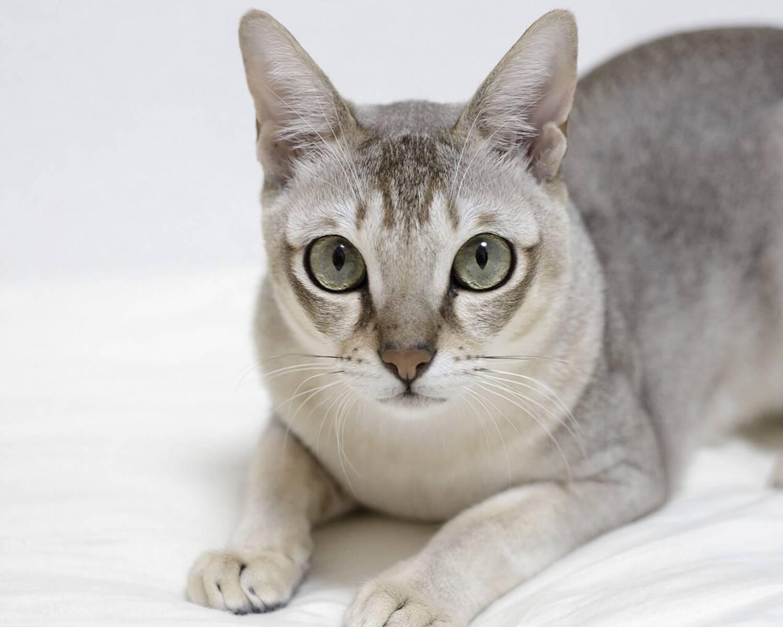 Лучшие породы карликовых кошек на 2021 год