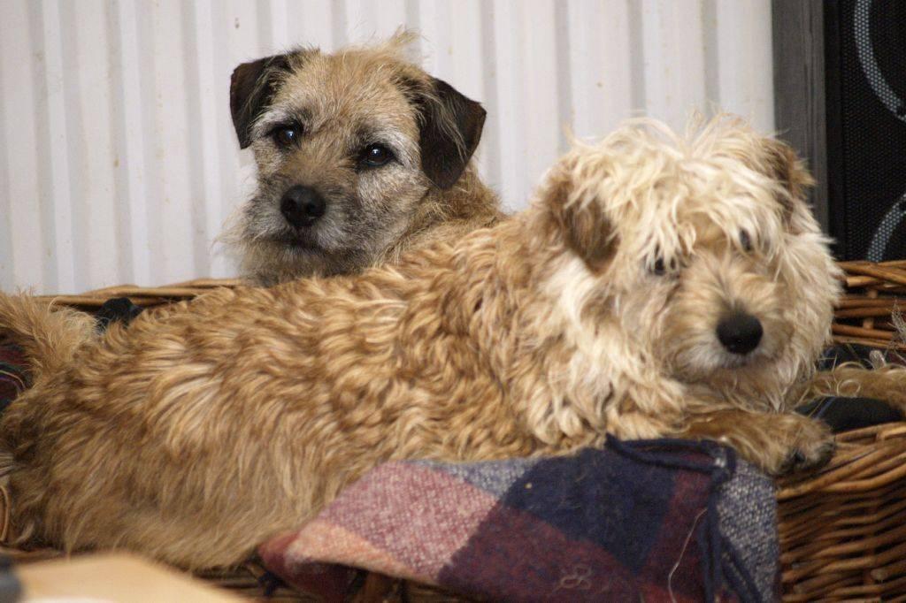 Голландский тульпхонд (маркизье): описание породы, характер, фото | все о собаках