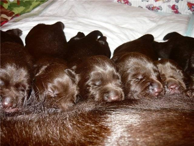 Когда откроются глаза у щенков: в каком возрасте, советы