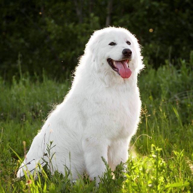 Мареммо-абруццкая овчарка (фото): воплощение чистой силы и преданности