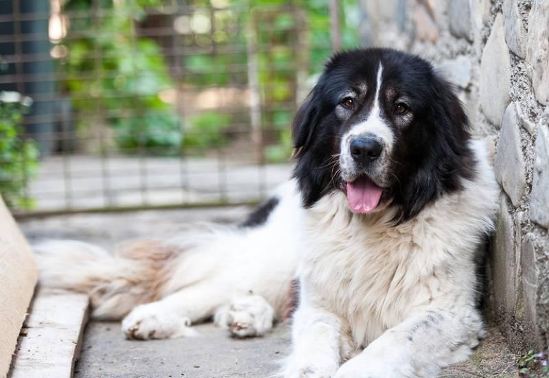 Хорватская овчарка: описание породы собак с фото и видео