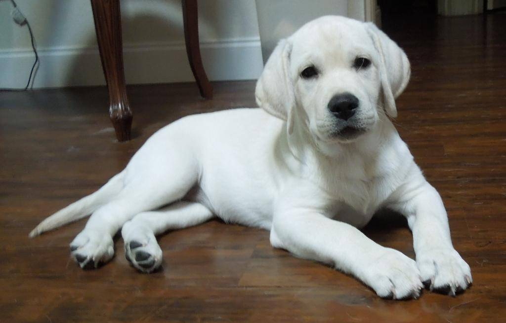 Породы собак, похожие на лабрадоров (17 фото): породы щенков с длинной и короткой шерстью схожие с лабрадором