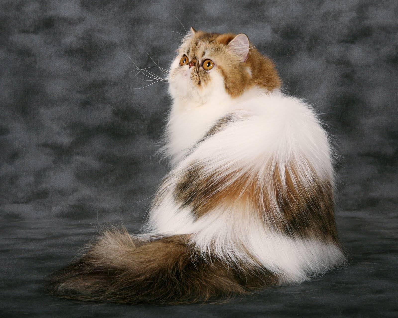 Самые популярные пушистые кошки в мире
