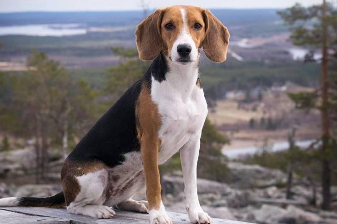 Описание породы собак эстонская гончая: характер, уход, предназначение