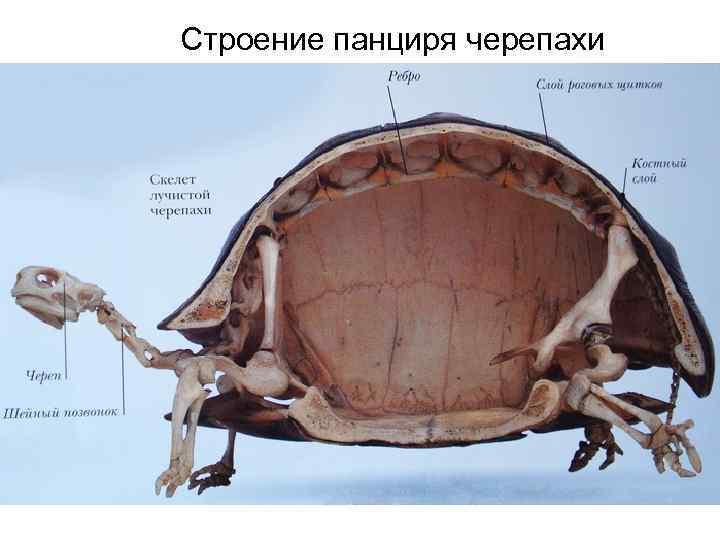 Анатомия и физиология красноухой черепахи (home.children.domjivot) : рассылка : subscribe.ru