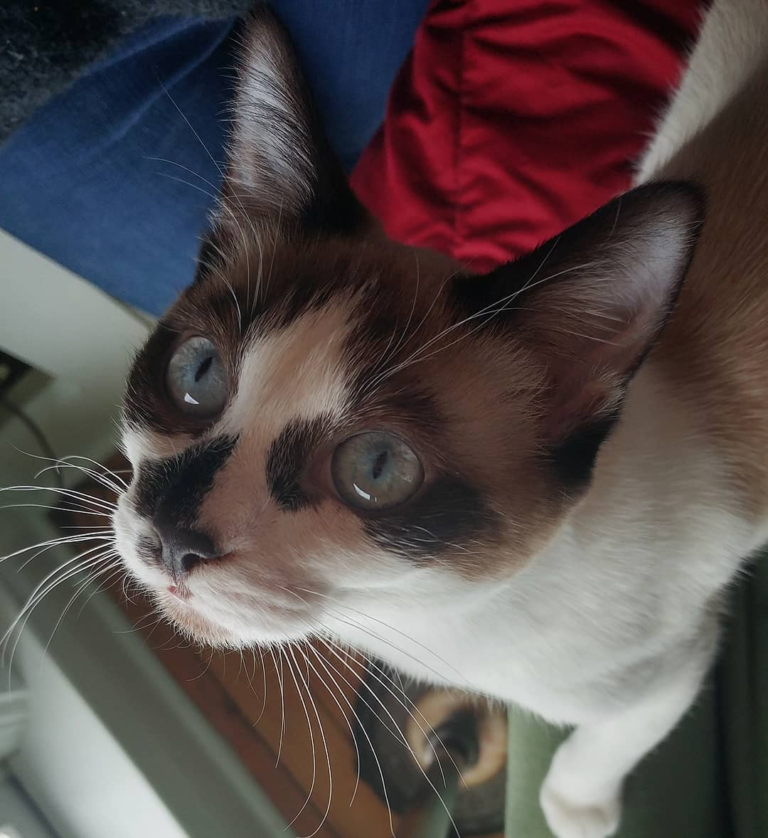 Сноу-шу кошка. описание, особенности, уход и цена породы сноу-шу   животный мир