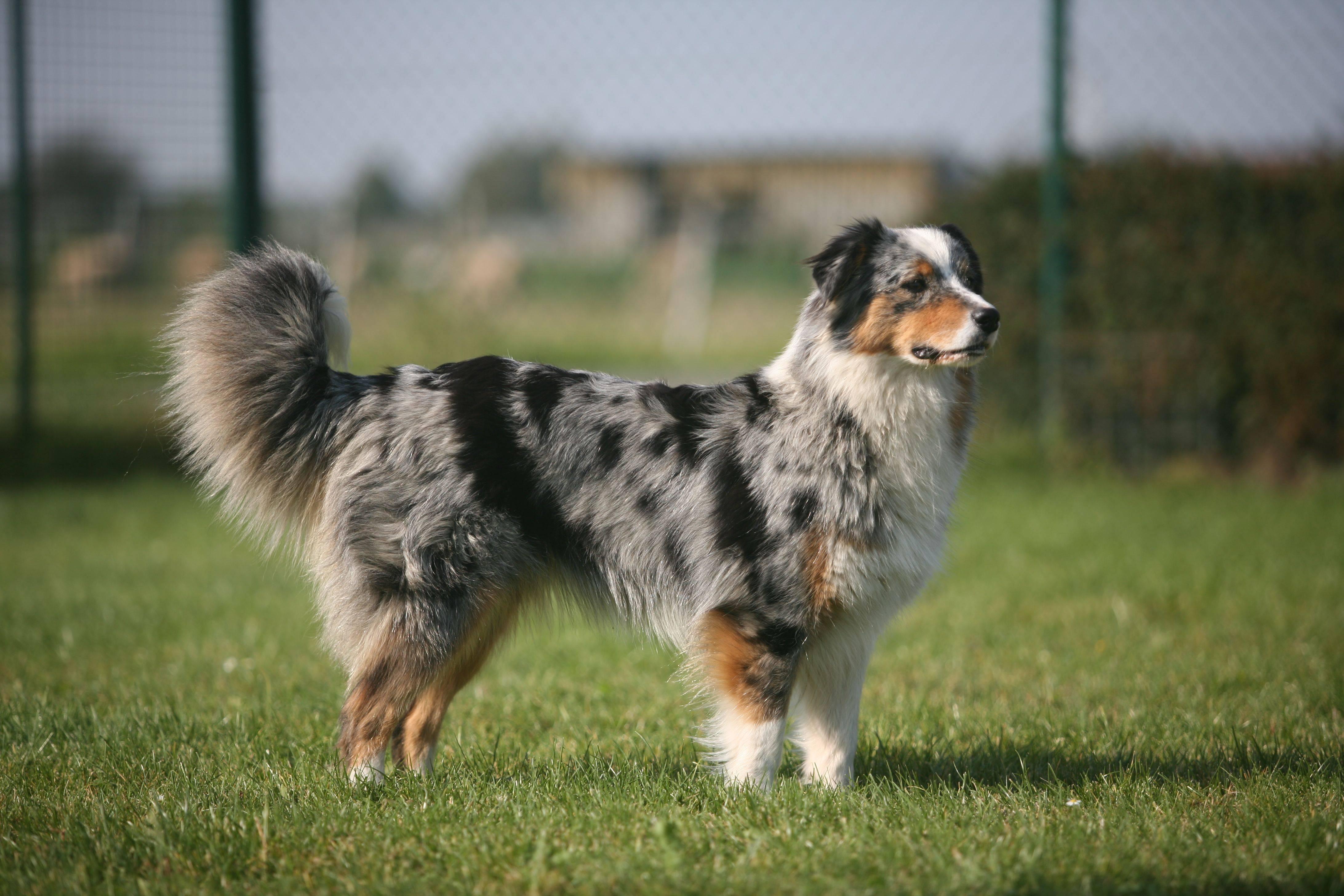 Пастушьи овчарки: топ – 12 пород собак пастухов