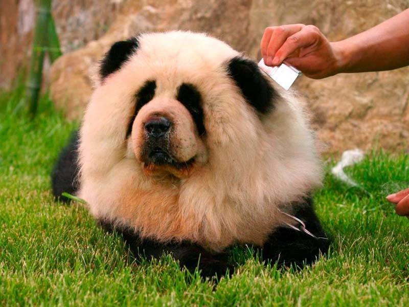 Описание породы «чау-чау смуф»: фото питомцев, принятый стандарт, черты характера, особенности ухода и выбор щенка