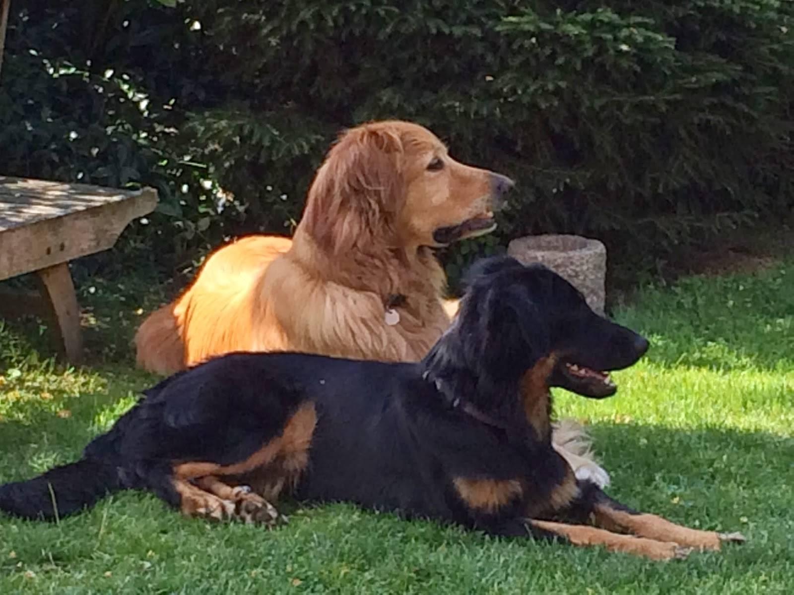Ховаварт порода собак: внешний вид, уход, отзывы содержание и питание
