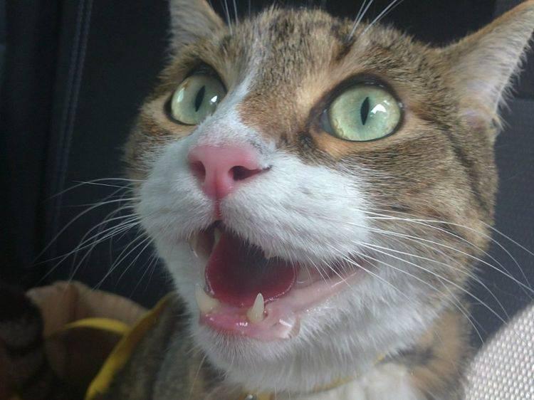 Кошка часто облизывается