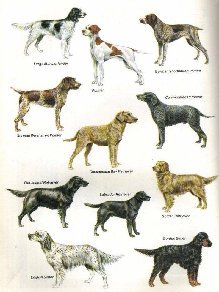 Породы собак с фотографиями и названиями: список по алфавиту