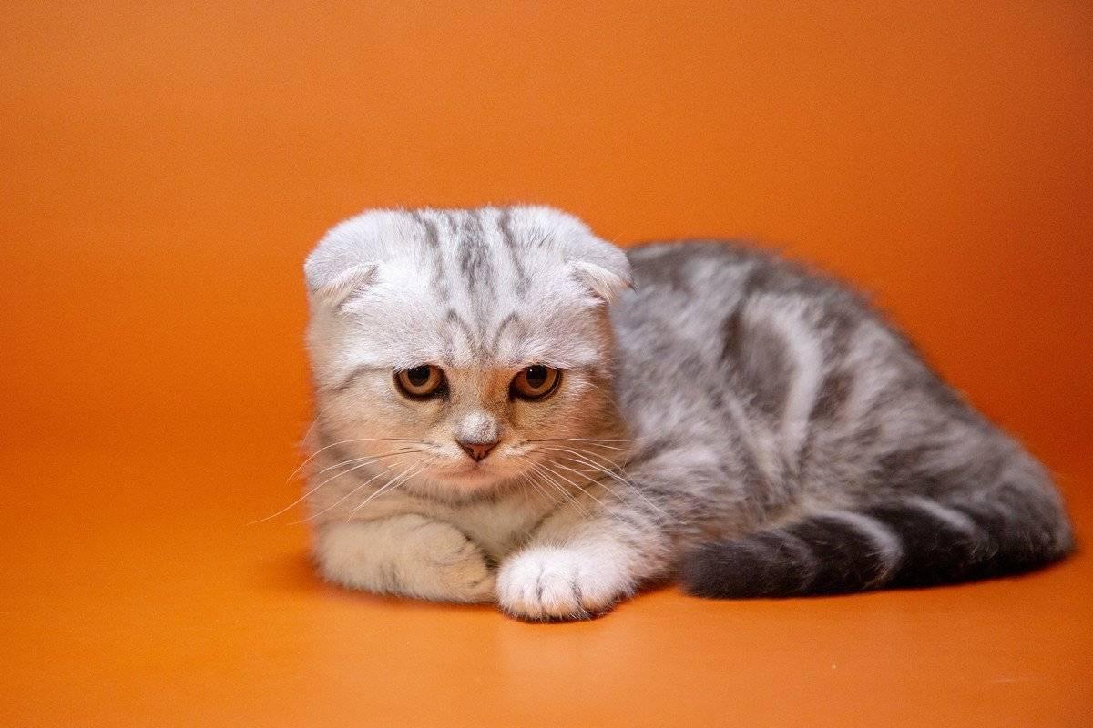Скоттишфолд — порода вислоухих шотландских котов, фото