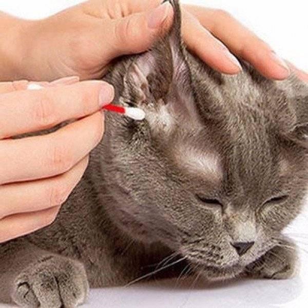 Ушные клещи у кошек: лечение препаратами и народными средствами