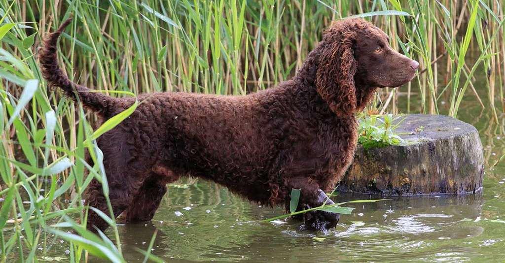 Описание породы собак ирландский водяной спаниель с отзывами и фото