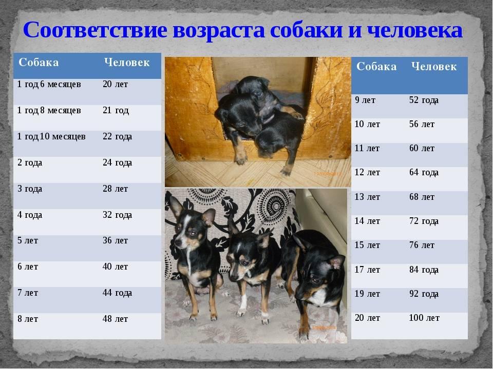 Рост и возраст собак: этапы развития, породы собак и периоды их роста