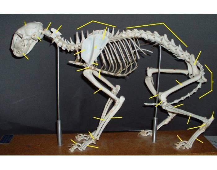 Рентгеновская диагностика аномалий развития хвоста у собак и кошек
