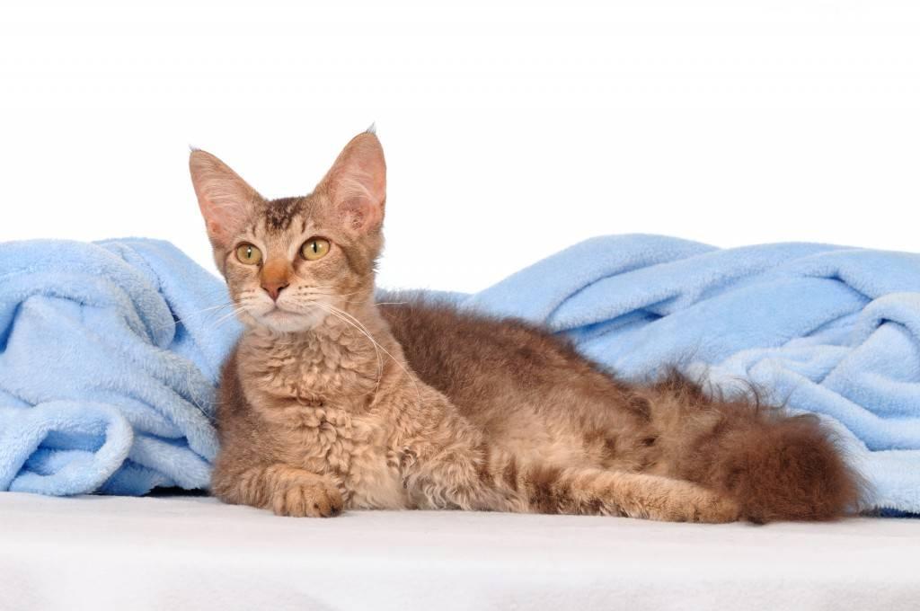 Лаперм  фото кошки, история и описание породы, характер, уход, стандарты