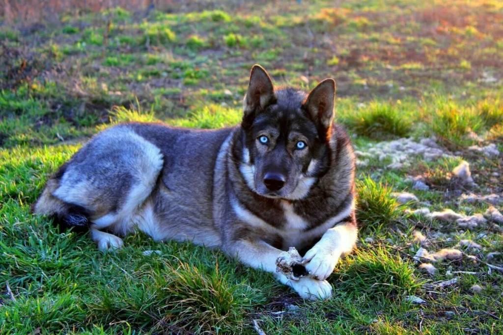 Волкособ (гибрид собаки и волка): описание, характер, содержание, уход, фото волкособ (гибрид собаки и волка): описание, характер, содержание, уход, фото