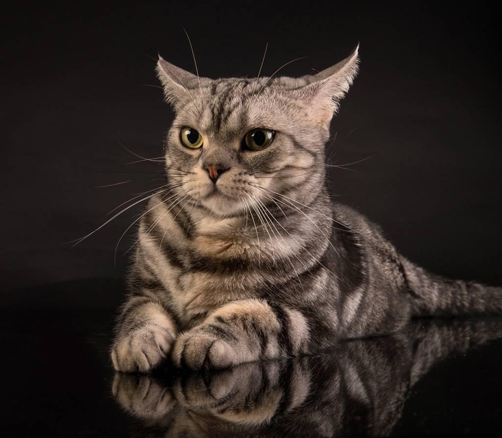 Американская короткошерстная кошка: фото, характер, описание