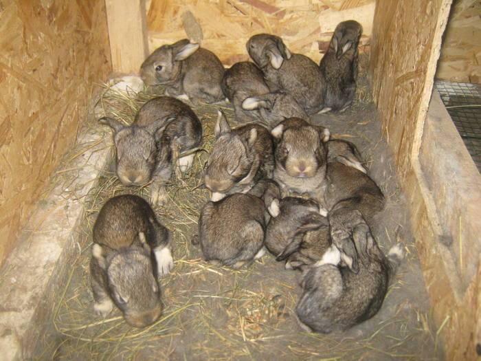 Сколько длится беременность у кроликов: признаки беременности, поведение крольчихи перед окролом и связанные с беременностью проблемы