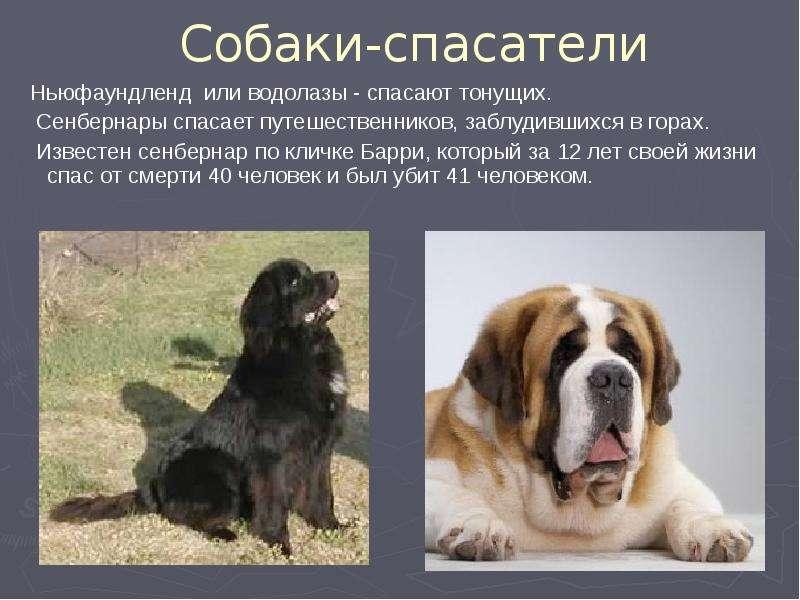 Сенбернар (характеристика породы), продолжительность жизни и другие факты о собаке