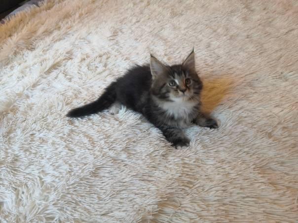 Кошки мейн-куны: все о характере и повадках самой крупной породы
