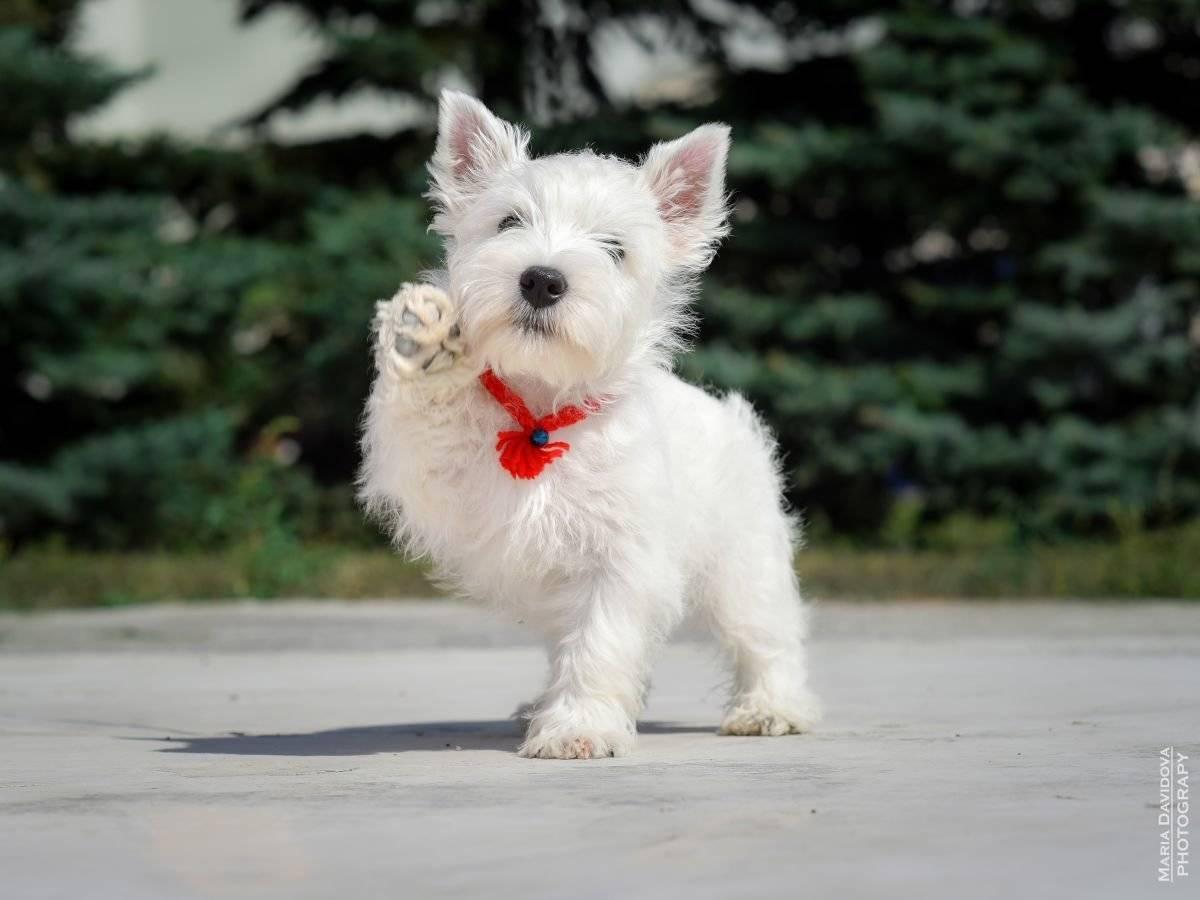 Вест-хайленд-уайт-терьер - характеристика взрослых животных и щенков, содержание и отзывы владельцев