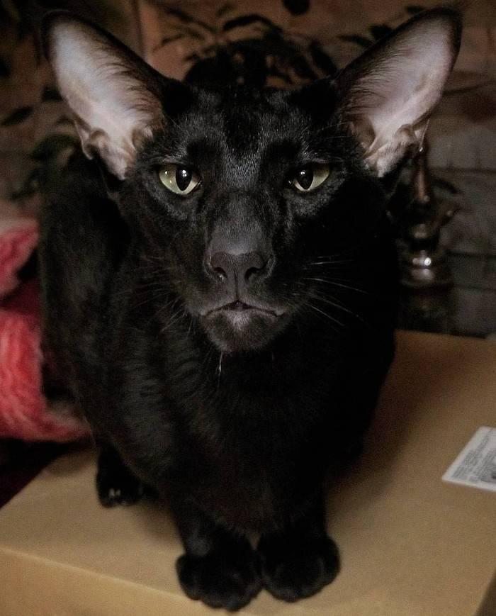 Кошка похожая на грузина как называется порода