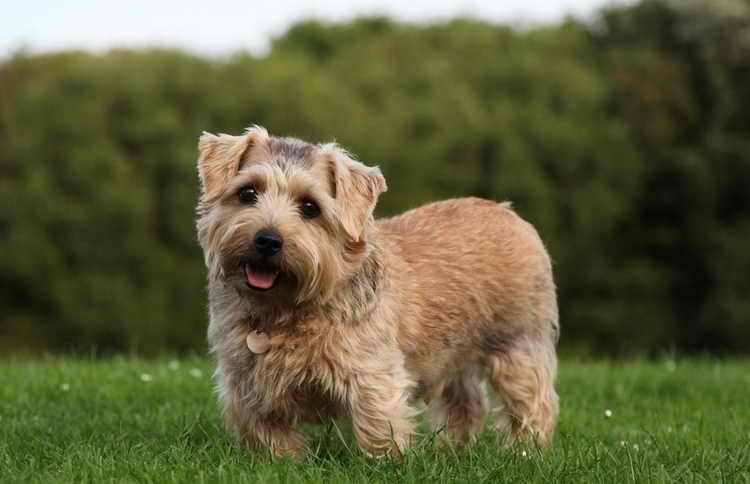 Норфолк терьер — описание породы собак