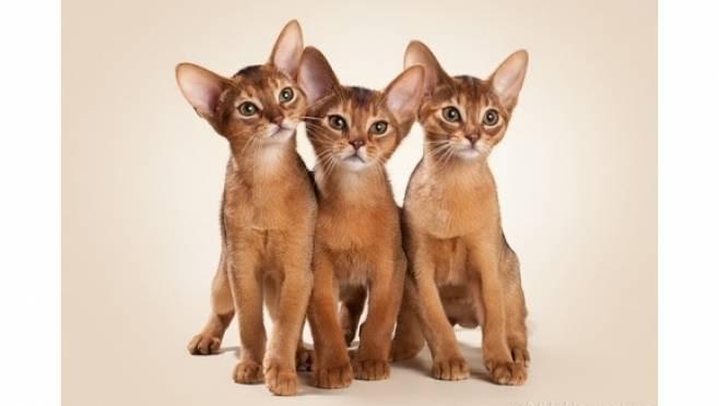 Абиссинская кошка: фото, описание породы, окрас, характер, стандарт